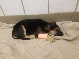 Black and brown puppy sleeping with a pink bandage on leg